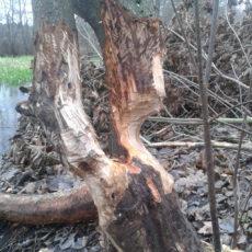 Drzewo-wygryzione-przez-bobry
