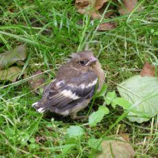 Mlody-ptaszek-probuje-swoich-sil-na-trawniku