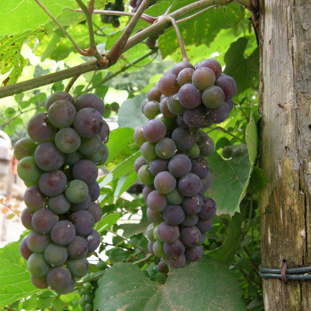 Dżem winogronowy