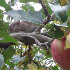 Myszka-na-galezi-jabloni