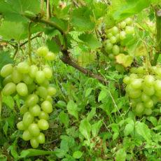 winogrona-Arkadia-w-Mlynie-Patryki